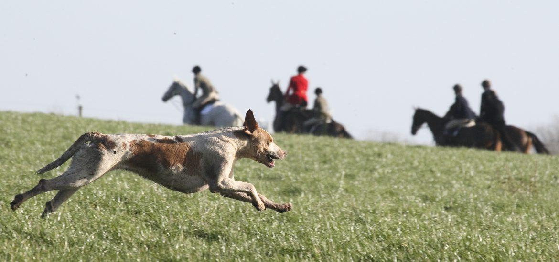 Hound Running